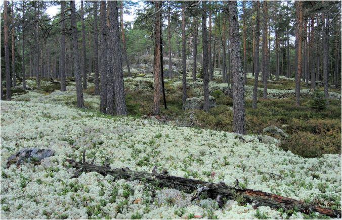 Getapulien - Tallskog_KS2003